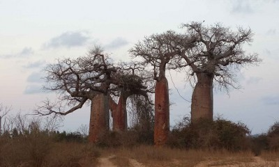 The Avenue of the Baobabs picture